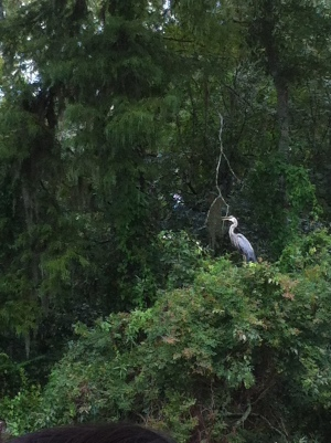 Louisiana Swamp Tour Birds